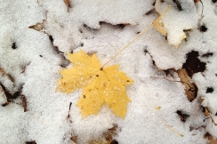 Maple leaf in snow