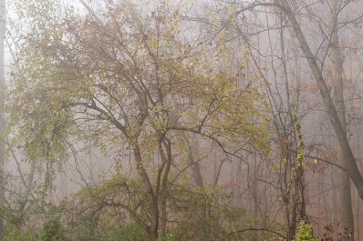 The mulberry in mist