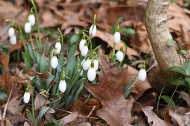 Snowdrops emerging