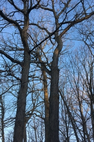 Oak trees against February sky