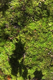 Moss with leaf shadow