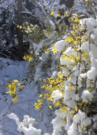 Forsythia blossoms in snow