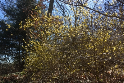Forsythia in full bloom