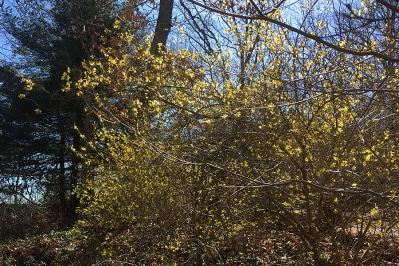 Forsythia in full bloom
