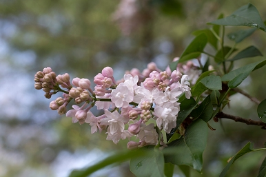 Lilac 'Beauty of Moscow'