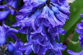 Dutch hyacinth