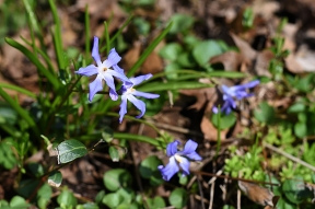 Glory-of-the-snow (Chionodoxa forbesii)