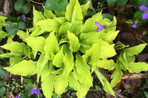 Gold hosta and violets
