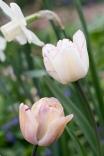 Tulip 'Shirley'