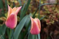 Tulip 'Marianne'