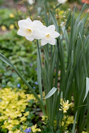 Daffodils in Grape & Lemonade bed