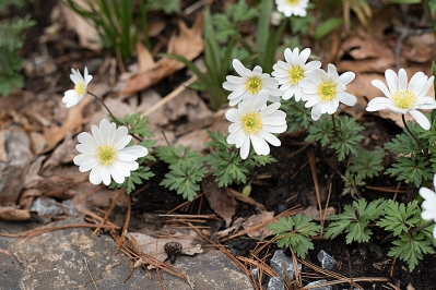Windflower (Anemone blanda) 'White Splendour'