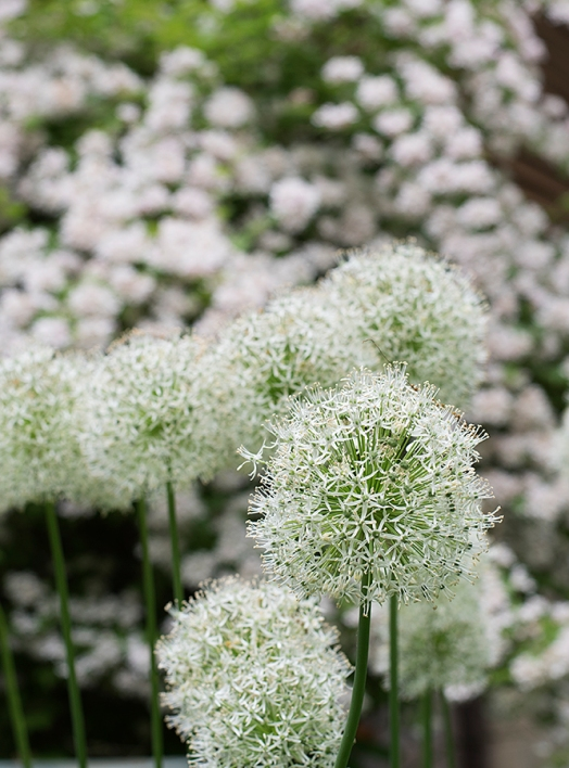 Allium 'Everest' against beauty bush