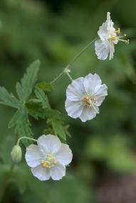 Geranium phaeum alba