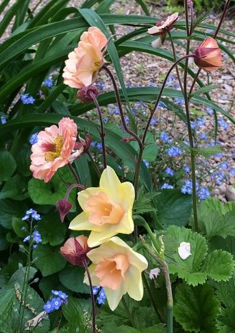 Geum 'Mai Tai' and daffodil 'Blushing Lady'