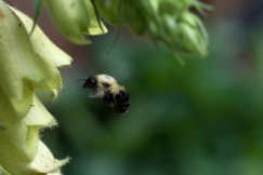 Bees love foxgloves