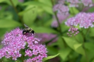Bumblebee on Spirea blossom