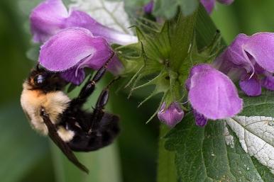Bumblebee in Lamium
