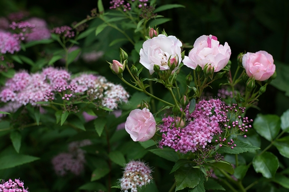 Pink Carpet rose & Spirea 'Shirobana'