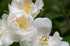 Rose 'Darlow's Enigma' blossom