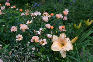 Daylily 'Evelyn Lela Stout' and carpet rose 'Rainbow'