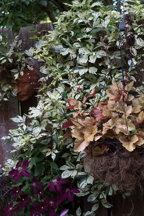 Heuchera in hanging basket
