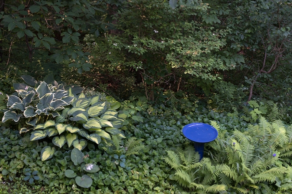 Hostas and ferns at woodland edge