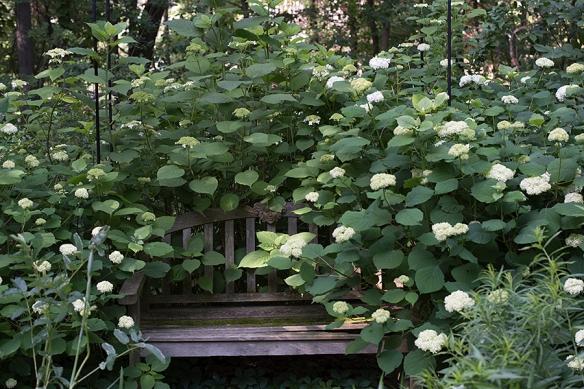 <em>Hydrangea arborescens</em> 'Annabelle'