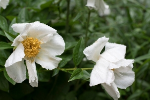 'Krinkled White' stands up in the rain