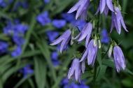 Lady bells (Adenophora lilifolia)