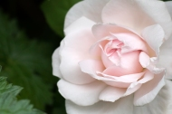 English Rose 'Queen of Sweden'