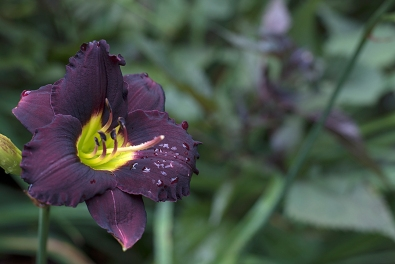 Daylily 'Cinderella's Dark Side'