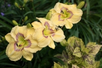 Daylily 'Etched Eyes'