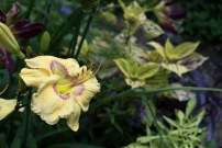 Daylily 'Etched Eyes' and Coleus 'Gay's Delight'