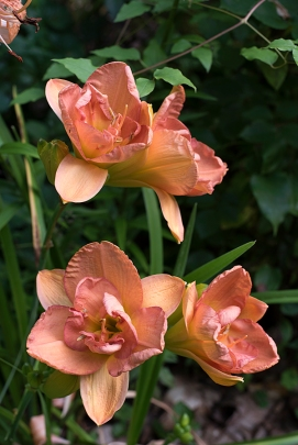 Daylily 'Francis Joiner'