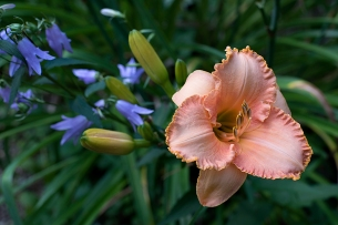 Daylily 'Full Moon Magic'