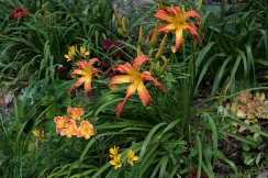Daylillies 'Scarlet's Web' and 'Fairy Firecracker'