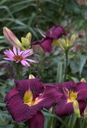 Daylily 'Nosferatu' and Echinacea 'Ruby Star'