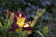 Daylily 'Persian Ruby'