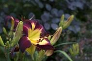 Daylily 'Persian Ruby'