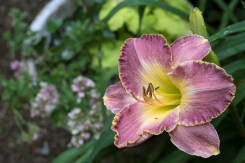 Daylily 'Secret Splendor'