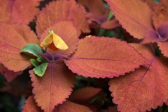 Coleus 'Sedona' with orange pansy