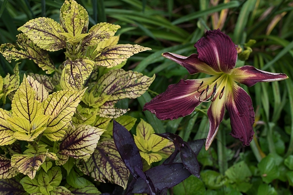 Daylily 'Vampire LeStat' and Coleus 'Gay's Delight'