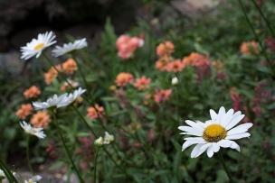 Shasta daisy 'Becky'