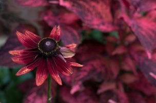Annual Rudbeckia'Cherry Brandy'