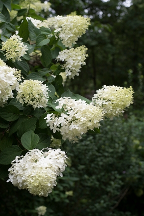 'Limelight' blossoms
