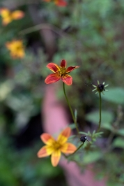 Bidens 'Painted Red'