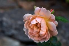 Rose 'At Last'