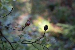 Rose hips of 'Complicata'