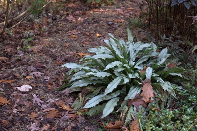 Silver lungwort